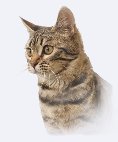 Bengal cat History